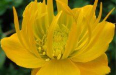 Купальница лебедура: ботанический сад Тарту
